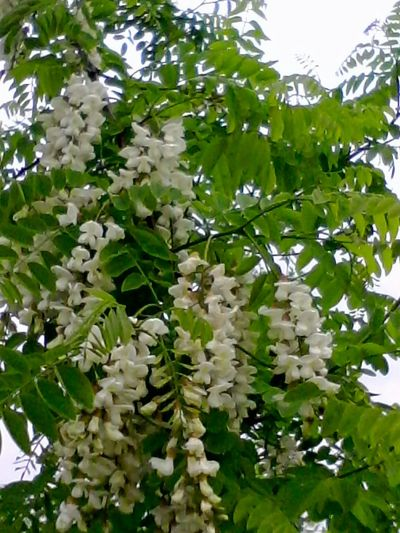 Acacia Eyeem Market Nature_collection @wolfzuachis Beauty In Nature Showcase: 2016 Colors Of Nature Nature 2016 Acacia Flowers Acacia Branch Acacia Tree Acacia Leaf Outdoors Showcase: August EyeEm Blossom Blossoms  Colour Of Life Flowers Flower Plants Wolfzuachis