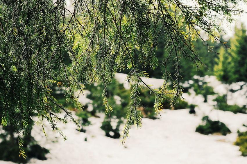 Green Color No People Outdoors Day Nature Tree Beauty In Nature Animal Themes EyeEm Dragobrat,Ukraine EyeEm Gallery Travel Destinations Dragobrat Taking Photos CarpathianMountains Carpathian Nature Forest Beauty In Nature Nature Tree EyeEm Best Shots Lights Shades Of Winter