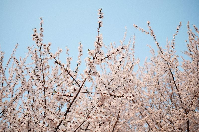 My sakura Flower Pink Springtime Sakura Nature Sky Blue No People Plant Day Low Angle View Beauty In Nature Winter Freshness