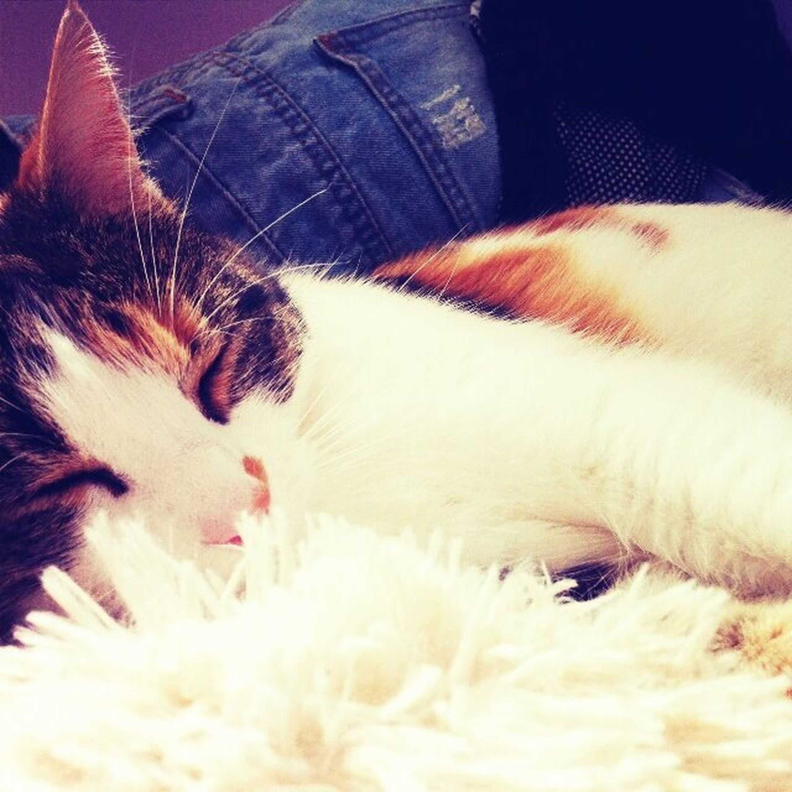 pets, domestic animals, one animal, animal themes, indoors, mammal, domestic cat, cat, close-up, feline, relaxation, resting, lying down, whisker, animal hair, animal head, dog, sleeping, looking at camera, animal body part