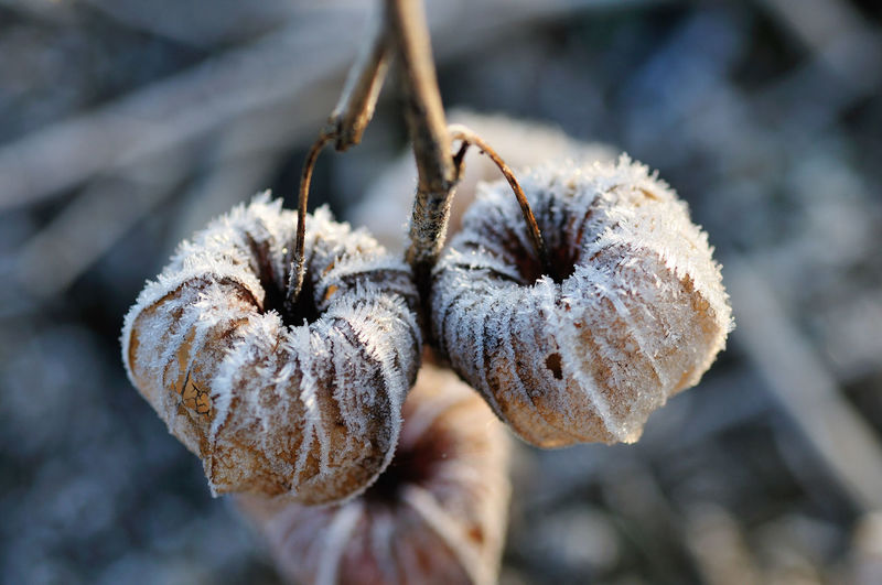 Close-up of frost on dried winter cherry
