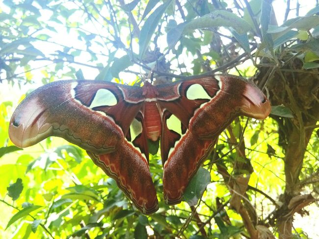 This big butterfly is known in the Philippines as Mariposa. Butterfly Insect Mariposa Butterflies Butterfly - Insect Nature Low Angle View No People Animal Wildlife Tree Day Animals In The Wild Branch Leaf Animal Themes EyeEmNewHere