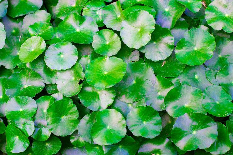 Full frame shot of green leaves floating on water