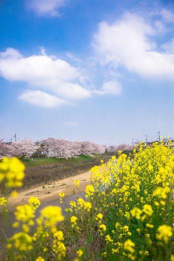 春爛漫 曽我川 Spring Japan Photography Japan Nara Springtime Cherry Tree Cherry Blossom Flower Flower Head Rural Scene Oilseed Rape Agriculture Field Crop  Sky Landscape Plant