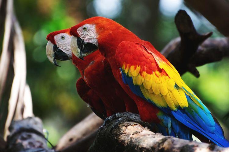 Guacamaya Bandera EyeEm Selects Macaw Bird Rainbow Lorikeet Parrot Perching Multi Colored Tree Red Close-up Tropical Bird Ibis Freshwater Bird