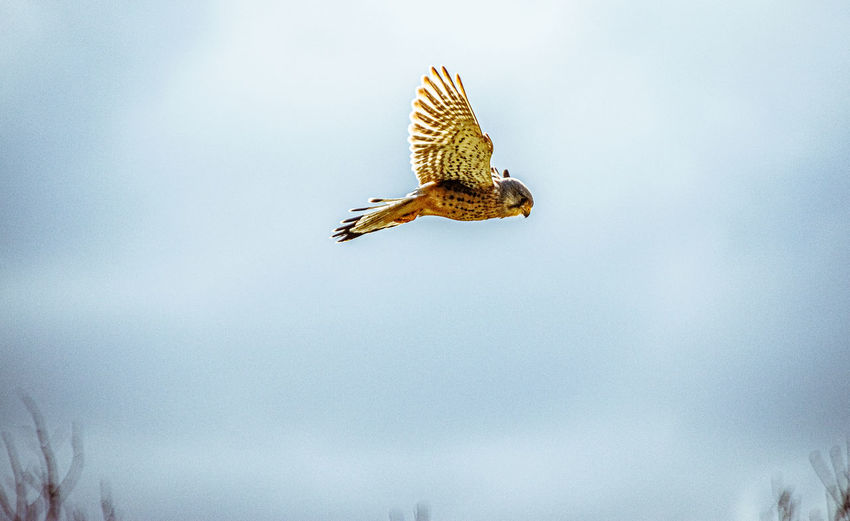 Low angle view of kestrel flying against sky