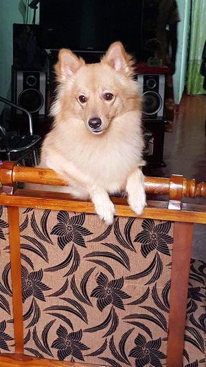 Dog in Home, #animal loving home. #Pomeranian. #sri Lanka dogs, 4245035 Indoors  Relaxation Sitting Lifestyles Murali's home.