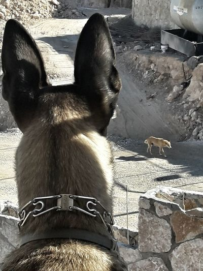 One Animal Animal Themes Dog Pets People And Dog Malinoislove Malinoislife Malinoislover Malinois