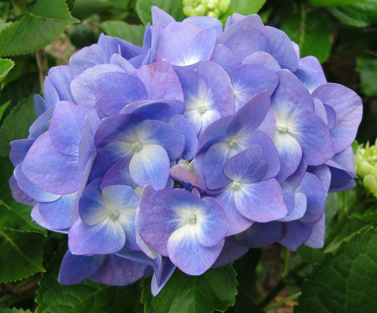 flower, beauty in nature, petal, nature, growth, fragility, plant, freshness, hydrangea, day, flower head, purple, blooming, outdoors, no people, close-up, focus on foreground, leaf