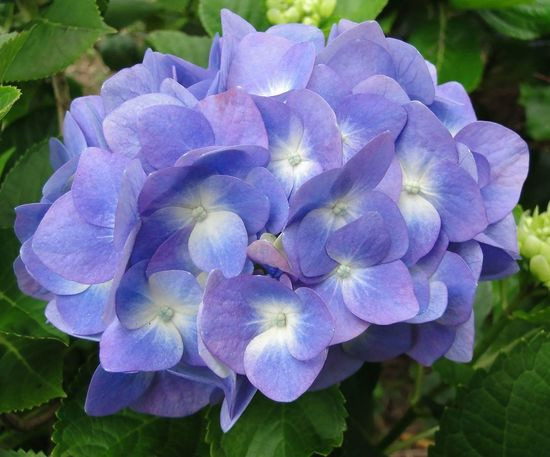 🍃🌼 Flower Purple Petal Beauty In Nature Nature Plant Hydrangea Fragility Outdoors Hydrangea Flower Hydrangeas Hydrangea In Bloom Hydrangea Macrophylla Hortensie Hydrangea Macrophylla Hydrangea Blue Hydrangea And Green Hydrangea Bouquet Hydrangeaceae Hortênsias Hortensia Flower Flowers Flores Plantas