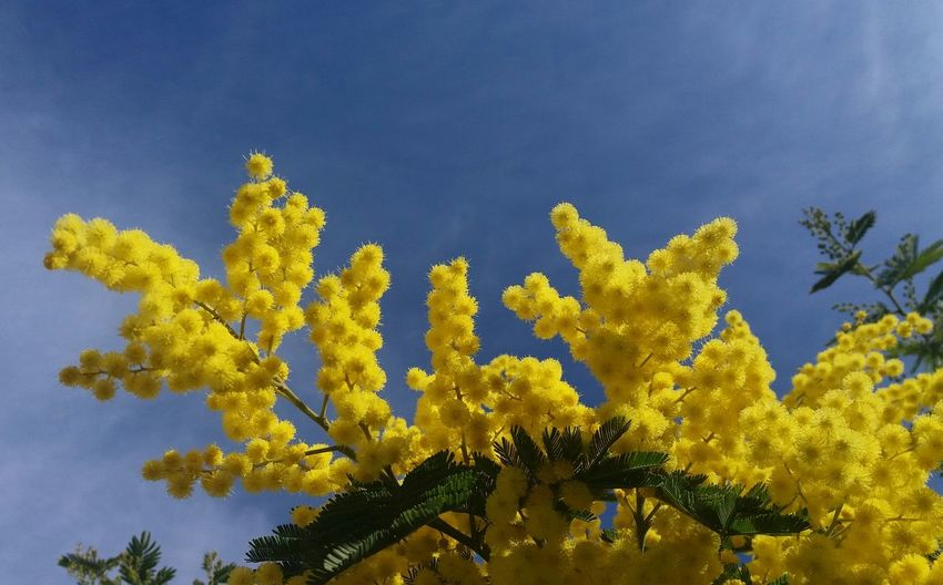 Mimosa Mimosas Mimosa Tree Yellow Yellow Flower Yellow Flowers Blue Sky Sky And Clouds