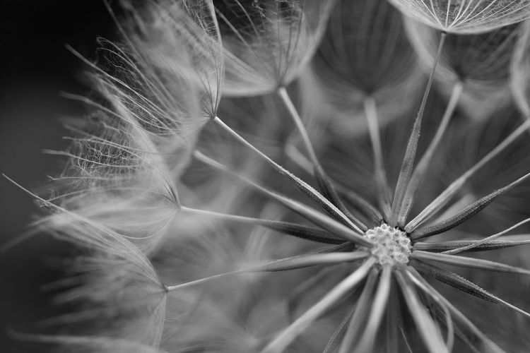 Backgrounds Fragility Nature Plant Close-up No People Flower Beauty In Nature Outdoors Dandelion Seed Day Blackandwhite Plant Plants Plants 🌱