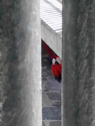 Guacamayo Peek-a-boo Peek A Boo Red Bird