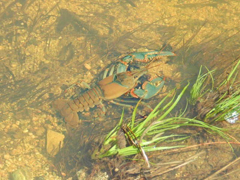 Crayfish Beauty In Nature Blue Claws Craw Fish Crawfish Cray Fish Crayfish Day Elevated View Grass Lobster Many Legs Nature No People Orange Outdoors Plant Prescott Prescott, AZ Remote Scenics Shallow Water Tranquility Under Water Underwater