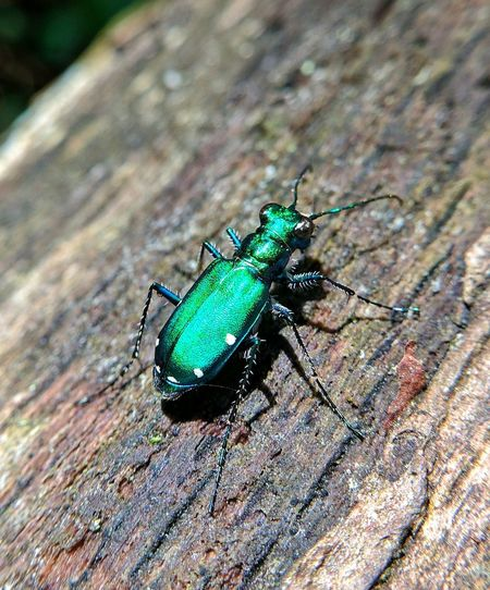A Tiger beetle Insect Outdoors Nature Animal Wildlife Animals In The Wild Animal Themes One Animal Tiger Beetle Bugs First Eyeem Photo