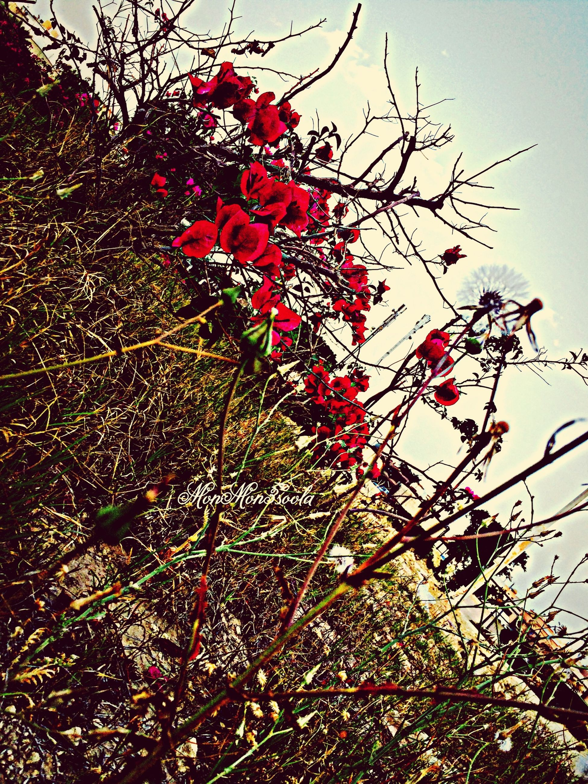flower, growth, branch, freshness, tree, red, low angle view, beauty in nature, nature, fragility, clear sky, blossom, pink color, in bloom, blooming, sky, cherry tree, springtime, leaf, botany