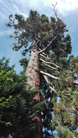 Giant sequoia Sequoia Giant Sky Nature Tree Branch Sky Green Color Treetop Growing
