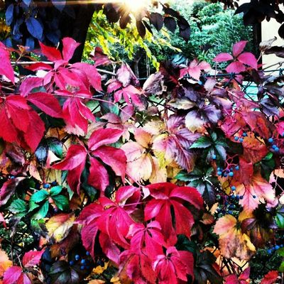 Edera autunnale #fall #leaves #ivy #colors Leaves Colors Fall Ivy