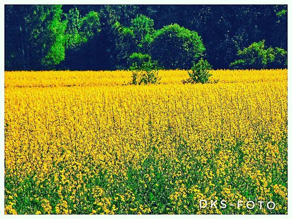 Sweden The True Story Tree Yellow Flower Rural Scene Agriculture Sunflower Field Crop  Plant Oilseed Rape Countryside Farmland