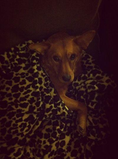 Blanket Hog