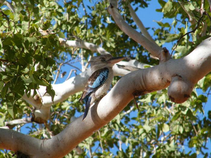 Blue Winged Kookaburra Bird Watching Bird Photography Animal Animal Themes Animals In The Wild Bird Animal Wildlife Day No People Nature Outdoors Blue Winged Kookaburra Tree Branch Perching