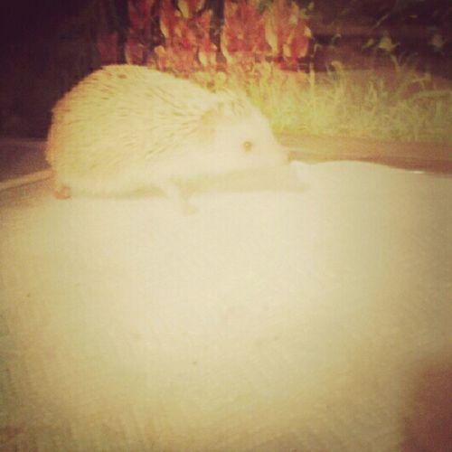 """Tell Me My Headgehog """" Skittles """" Isnt Cuteeee ? :p"""