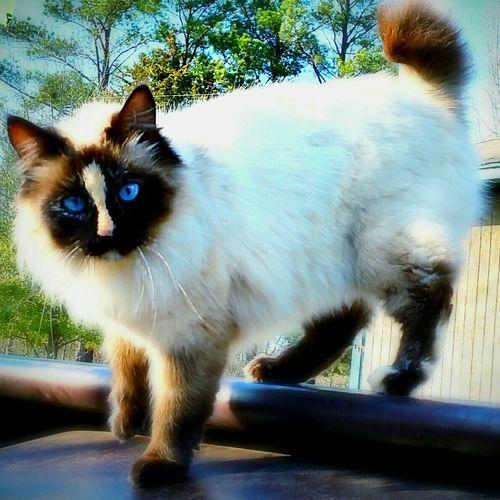 Cats Sky Blue