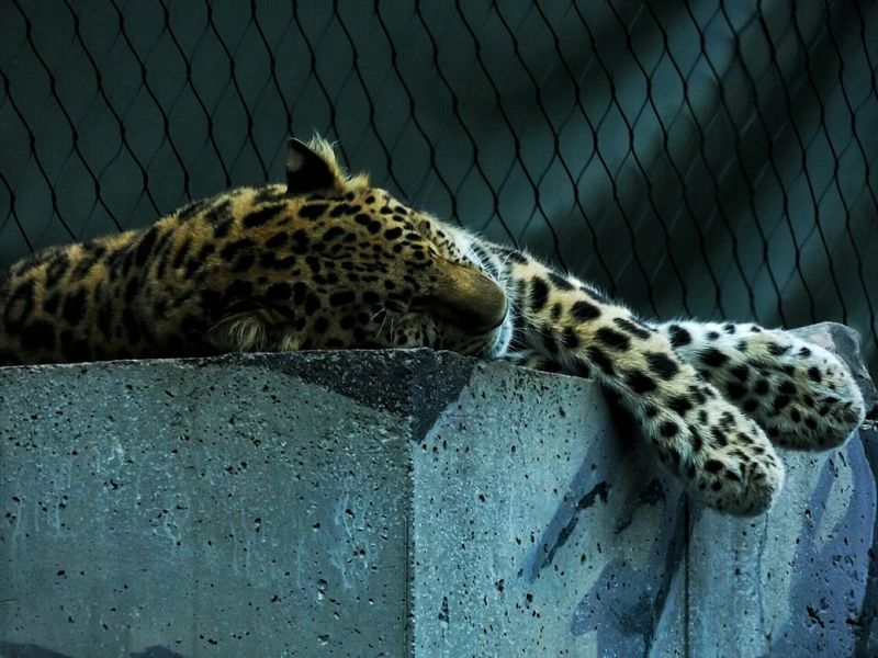 Leopard or Cheetah ? forgot to read the signs😕Pets Corner Animal Portrait Animal_collection Zoo Animal Feline Color Captivity