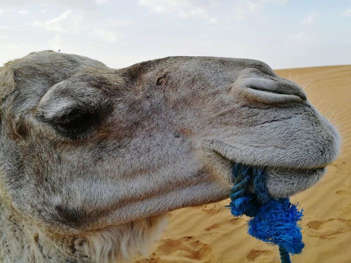 call me daddy^^ camel gangster Soonjourney MyWanderLust Camel Sahara Desert Mafia  Gangster Morocco Africa Funny Caption Journey Travel Close-up Sky Sand