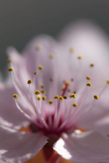 Close-up of pink crocus flowers