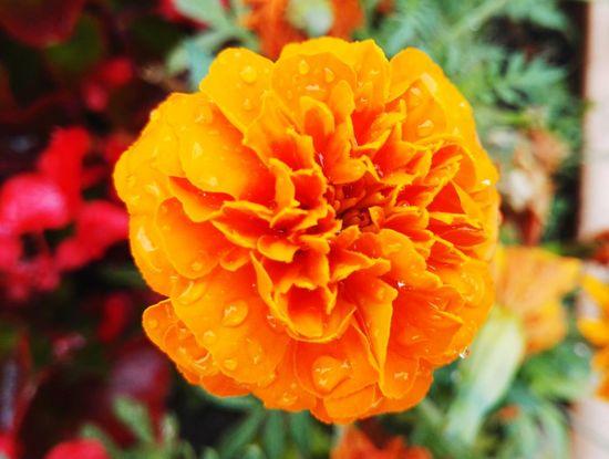 Flower Due Orange Flower Closeup Close Up Nature Flower Colour Of Life