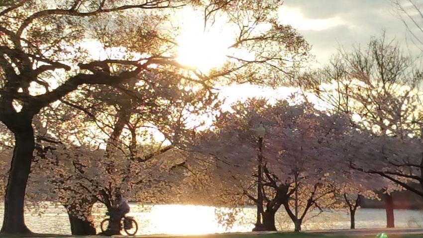 WashingtonDC Cherry Blossoms nofilternoeditNofilter Sunset EyeEm Best Shots EyeEm Gallery Eye Em Nature Lover Eyemart