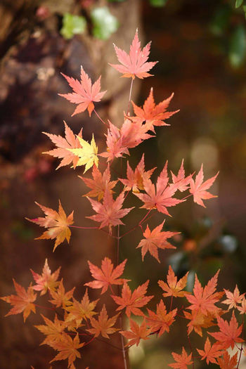 High angle view of maple leaves on plant