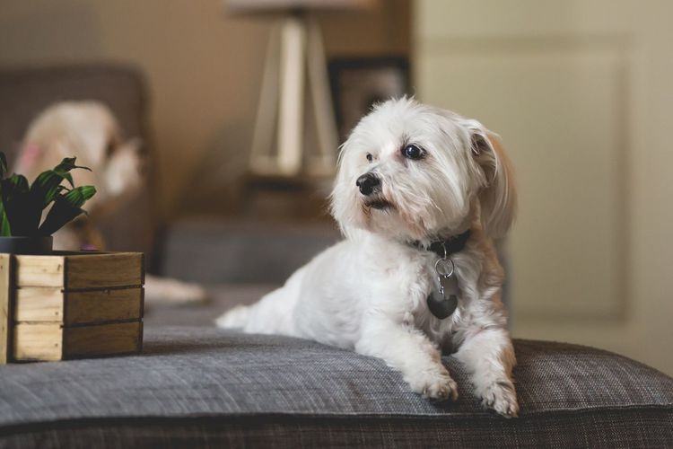 Maltese EyeEm Selects Pets Domestic Dog Canine One Animal Domestic Animals Mammal Animal Animal Themes Indoors  Sofa No People Cute Lap Dog Focus On Foreground Home Interior Furniture Small