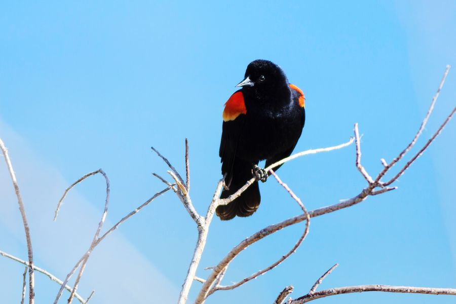 red winged black bird Bird Perching Red Branch Blue Multi Colored Close-up Songbird