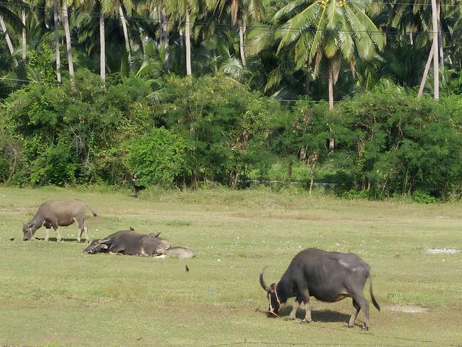 Plam Plant Travel Dry Country Thailand Farm No People Buffalo Nature Outdoors Day Sky Background Thailand Travel Plant