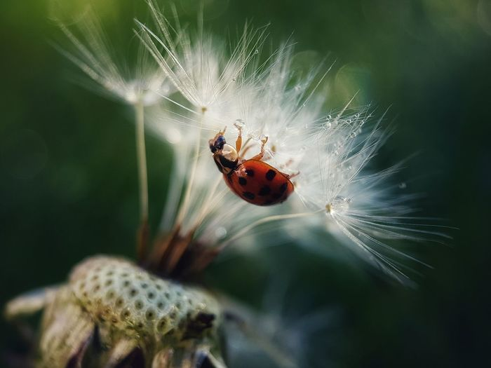 🍃🐞🍃 Insect Ladybird Dandelion Close-up Nature Animal Wildlife Animal Beauty In Nature No People Macro Photography Macro Nature Is My Religion Enjoying Life Taking Photos Macro_collection EyeEm EyeEm Selects EyeEm Best Shots - Nature EyeEmBestPics EyeEm Best Shots EyeEm Gallery Fragility Day Dewdrops Ladybug
