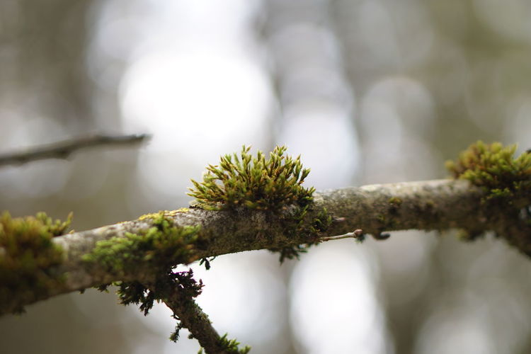 Close-up of moss growing on branch