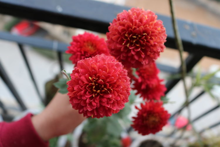Close-up of hand on red flowering plant
