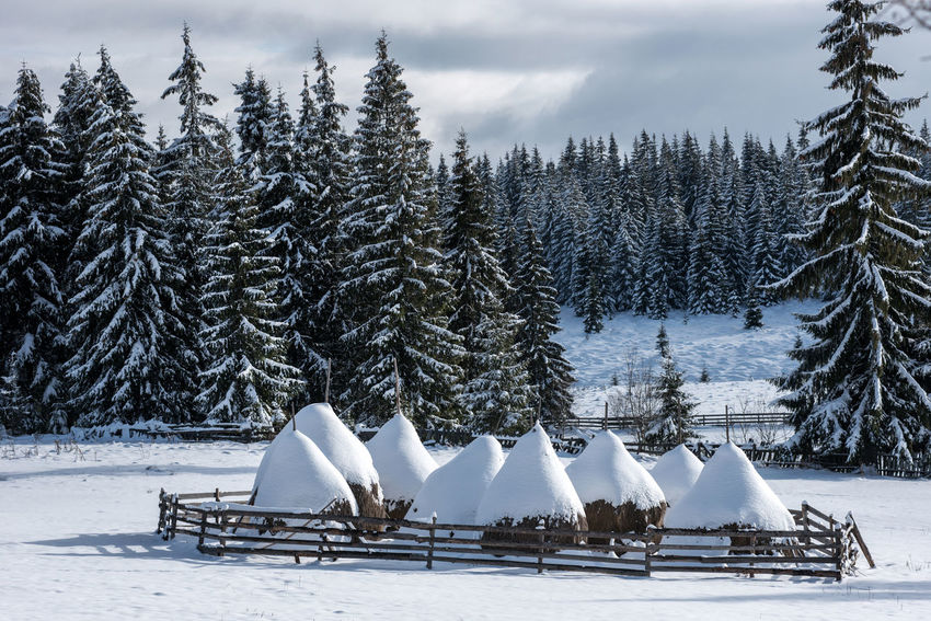 Winter rural scene with snow covered haystacks Agriculture Sunny Beauty In Nature Cold Temperature Countryside Fence Fir Fir Trees Forest Frozen Hay Haystacks Landscape Mountain Nature No People Outdoors Rural Scene Snow Snow Covered Landscape Snow Covered Trees Snowy Tree White Winter