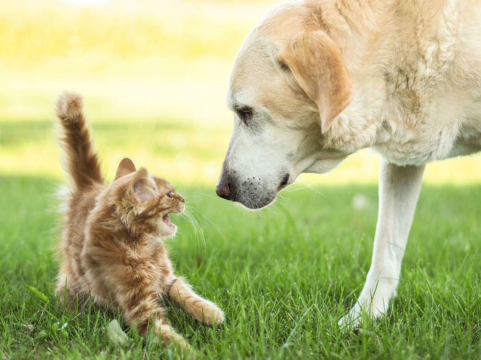 Close-Up Of Kitten Meowing By Labrador Retriever On Grassy Field