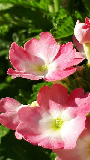 Flower Head Flower Peony  Pink Color Petal Water Springtime Blossom Close-up Plant