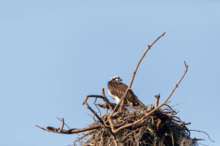 Osprey bird Pandion haliaetus perches in its nest high above a marsh in the Ding Darling National Refuge on Sanibel Island, Florida Fish Hawk Osprey Nest  Pandion Haliaetus Bird Bird Of Prey Clear Sky Close-up Day Fishing Hawk Nature Nest No People Osprey  Outdoors Seahawk Wild Life