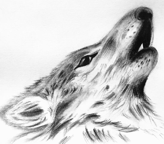 Sketch Sketching Sketch Art Draw Drawing Drawings Wolf Howl Howling My Drawing my fascination with Wolves continues and I drew a howling wolf...