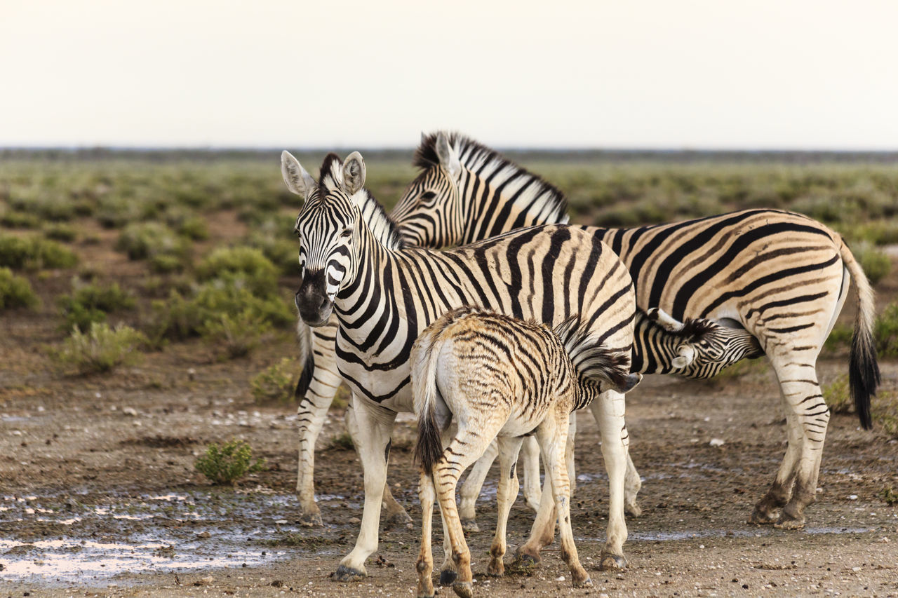 group of animals, animal wildlife, animal themes, zebra, animal, animals in the wild, mammal, striped, vertebrate, no people, nature, focus on foreground, field, standing, sky, land, safari, day, two animals, outdoors, herbivorous, herd