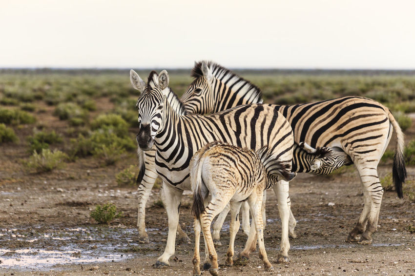 Zebras, femals with foals Copy Space Lactation Namibia Plains Zebra Animal Animal Themes Animal Wildlife Animals In The Wild Day Equus Quagga Etosha National Park Female Foal Full Length Mammal Nature No People Outdoors Safari Animals Standing Steppe Suckling Togetherness Zebra