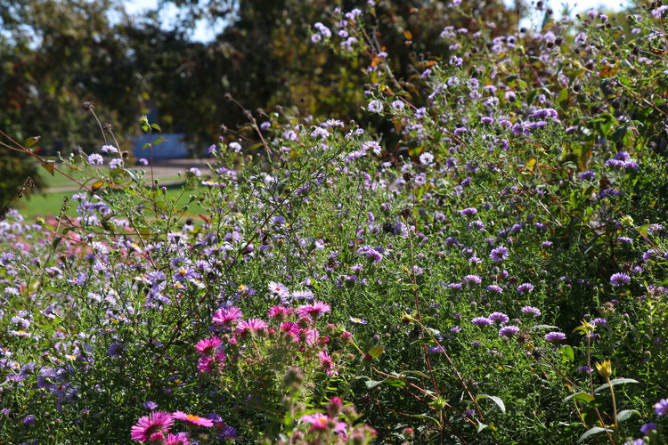 Flowers in a park Flowering Plant Flower Plant Growth Freshness Beauty In Nature Fragility Vulnerability  Day Nature No People Focus On Foreground Close-up Field Land Park Pink Color Flower Head Outdoors Park - Man Made Space Purple Springtime Flowerbed