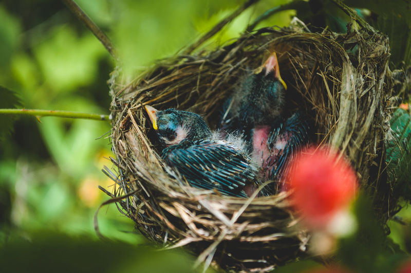 Close-up of baby birds in nest in a black raspberry patch