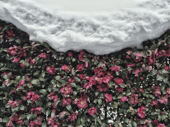Close-up of snow covered flowers
