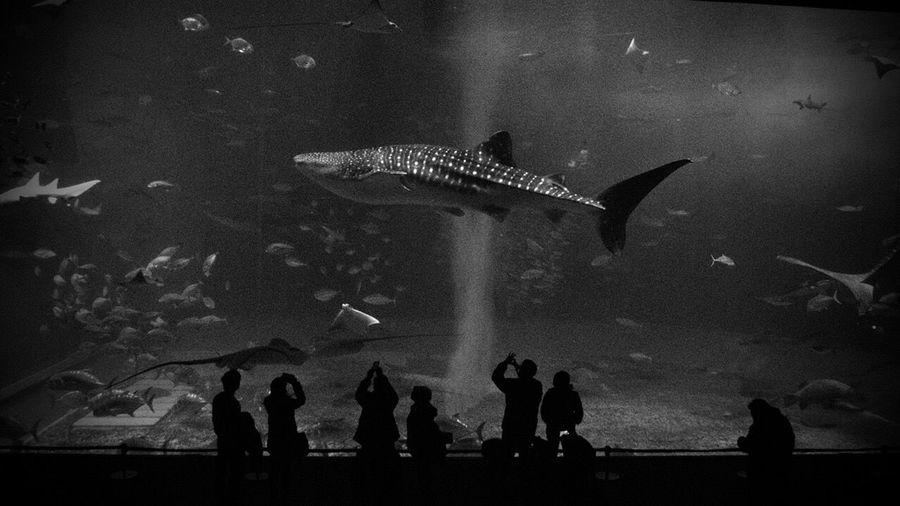 Silhouette People Photographing Fish In Okinawa Churaumi Aquarium
